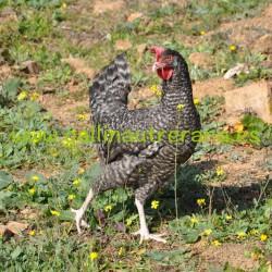Huevos gallinas Utrerana Franciscana